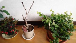 Cherry_4