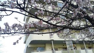 Sakura_00012