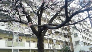 Sakura_00013